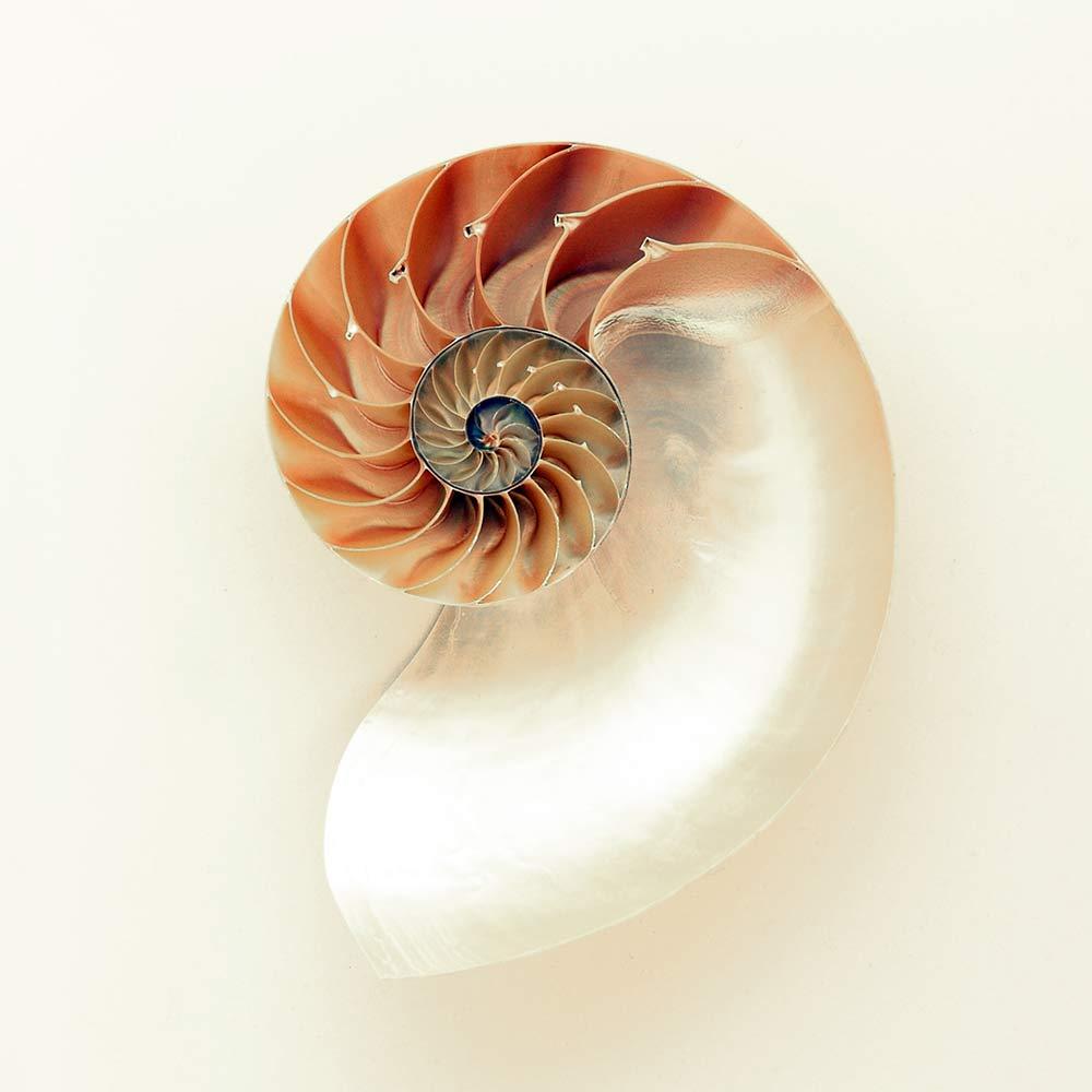 Nautilus Shell Golden Ratio Spiral